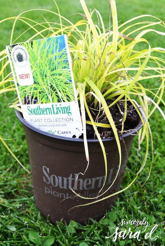 Evercolor Everillo Carex