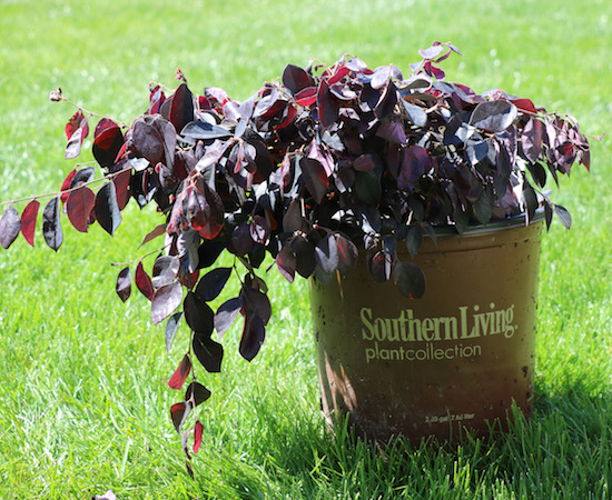 Southern Living Diamond Loropetalum