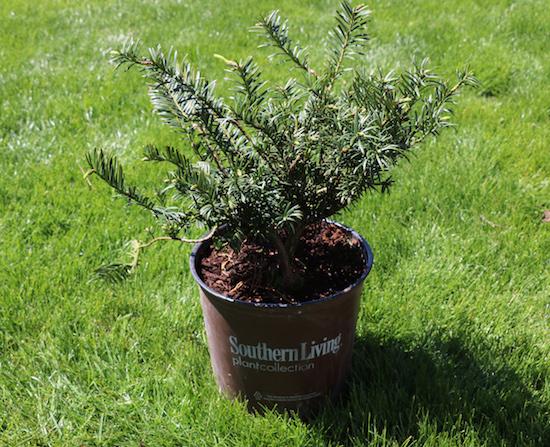 Southern Living Yewtopia Plum Yew