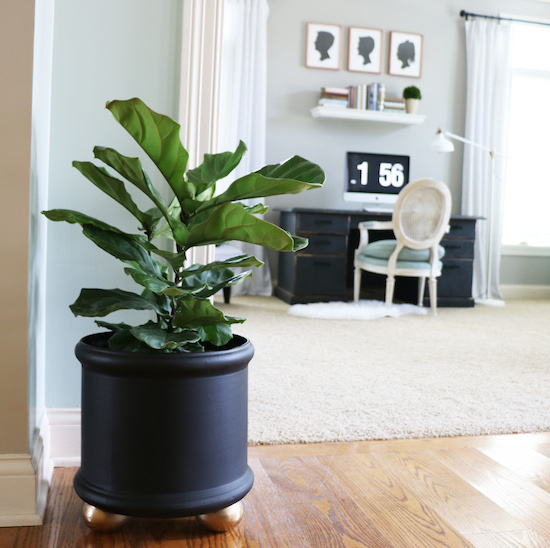 Decorating with Fiddle Leaf Figs
