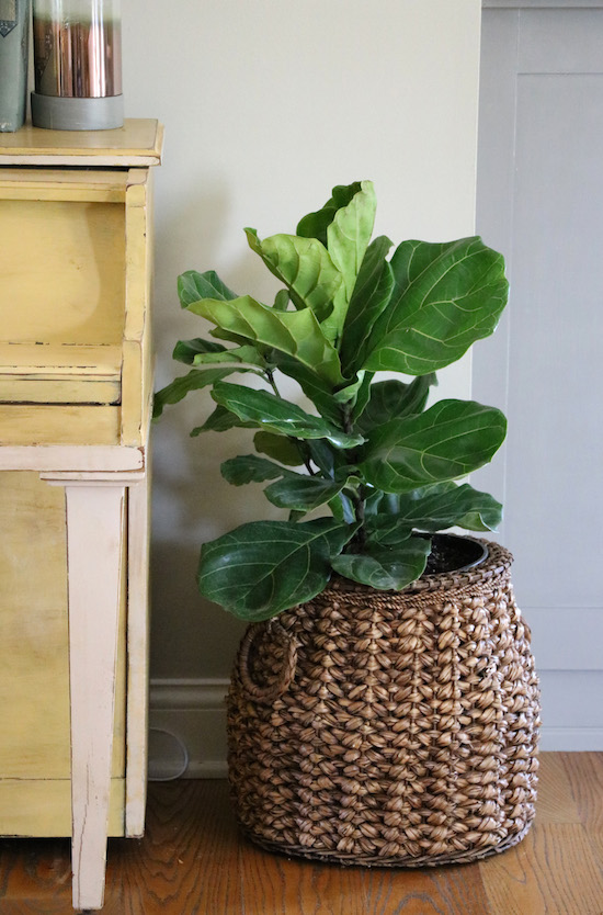 Fiddle Leaf Fig in Decor