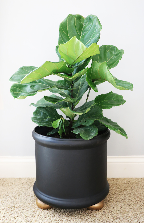 Tips for growing Fiddle Leaf Fig